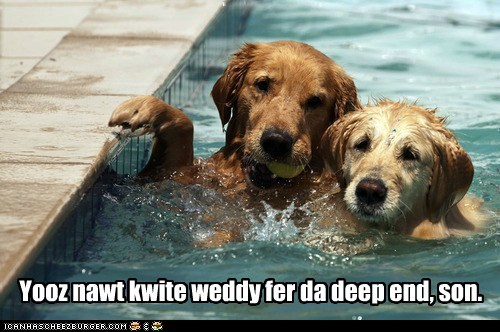 golden retreiver golden retrievers swim swimming swimming lessons - 5838097408