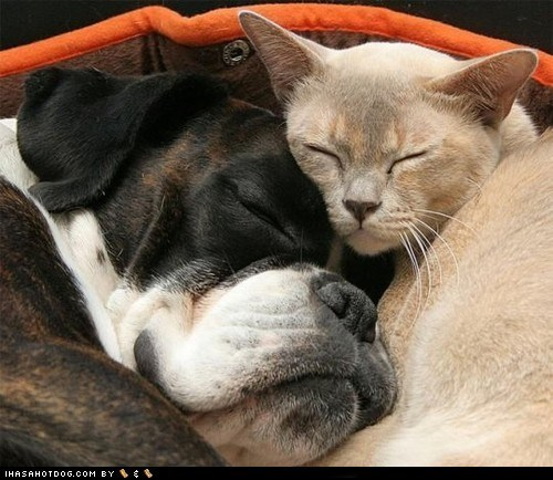 asleep boxer cat cuddle kitteh kittehs r owr friends love nap sleeping Valentines day - 5838135296
