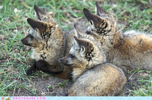 Babies,baby,bat-eared fox,bat-eared foxes,fox,foxes,kit,kits,squee spree