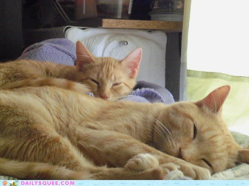 Cats,friends,ginger,marmalade,nap,reader squees,tabby