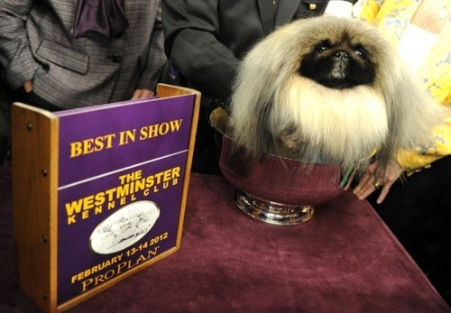 doggeh Malachy pekingese Westminster Kennel Club