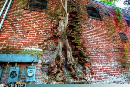 brick claim roots tree trunk vine
