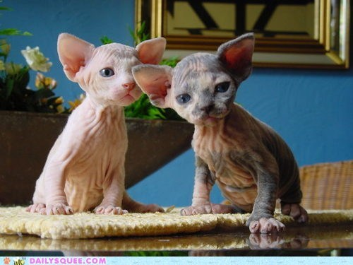 cat Cats creepicute Hall of Fame kitten sphynx sphynxes wrinkles wrinkly - 5845770496