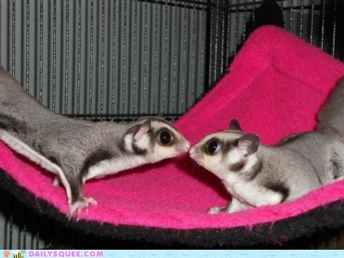 adorable,KISS,kissing,pun,sugar glider,sugar gliders,unbearably squee