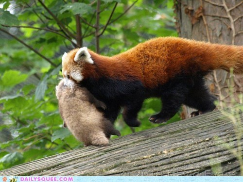 baby carrying mother red panda red pandas sleeping unbearably squee - 5846013696