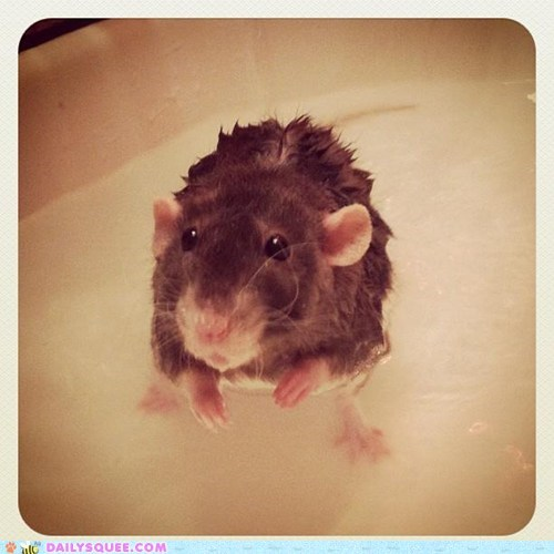 bath,bath time,bathing,rat,reader squees,rodent