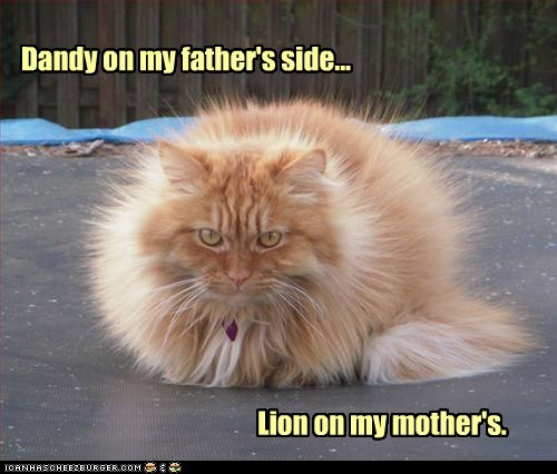 caption,captioned,cat,dandelion,dandy,Father,Fluffy,furry,genes,lion,mother,pun