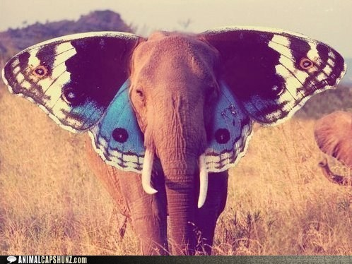 butterfly,caption contest,ears,elephant