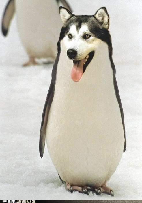 caption contest,dogs,husky,mixed breed,penguin,what