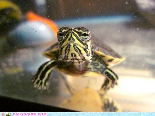 swimming underwater turtle reader squees close up baby posing photogenic aquarium - 5849861632