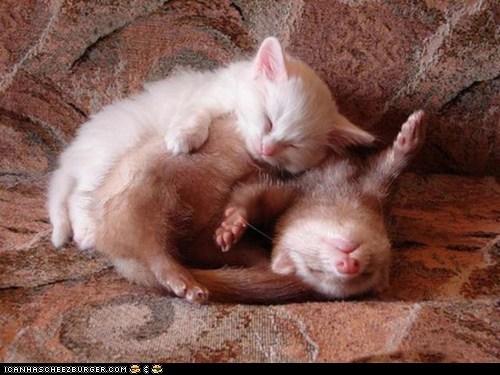cuddles cuddling cyoot kitteh of teh day ferret ferrets Interspecies Love - 5851330560