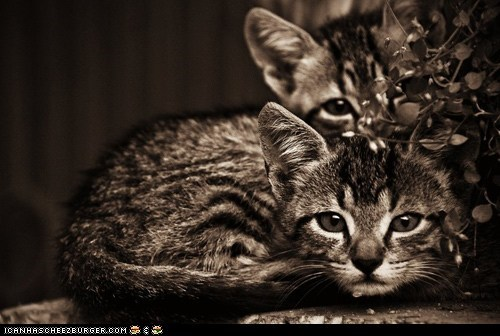 black and white cyoot kitteh of teh day portraits sepia serious two cats - 5851349504