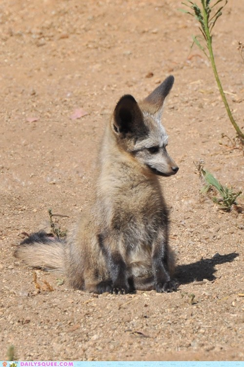 baby bat-eared fox fox kit smirk smirking squee spree