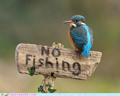 acting like animals bird Hall of Fame ignoring kingfisher no rebel rebellious sign - 5851441152