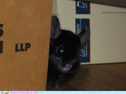 black box cardboard chinchilla pet reader squees sly - 5852381440