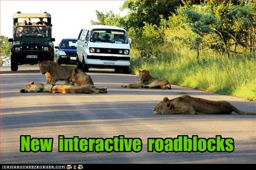 beta test,big cat,big cats,caption,cars,interactive,laying down,lioness,lions,roadblock,roads,tired,Traffic Jam