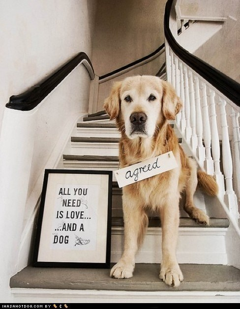 All you need is love,golden retriever,i love dogs,love