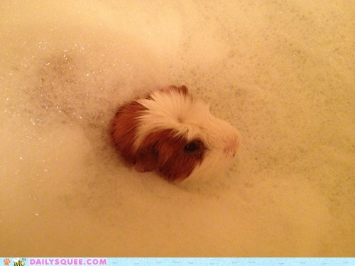 bath bathing bubbles guinea pig reader squees sir washing - 5853891328