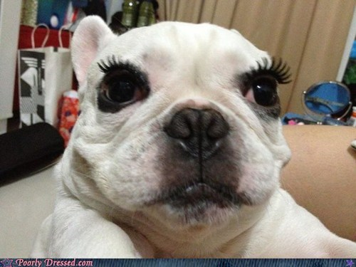 beautiful,bulldog,dogs,eyelashes,french bulldogs,g rated,makeup,poorly dressed