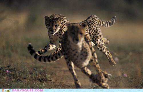 acting like animals cheetah cheetahs distracted distraction race racing running sprinting - 5855674112