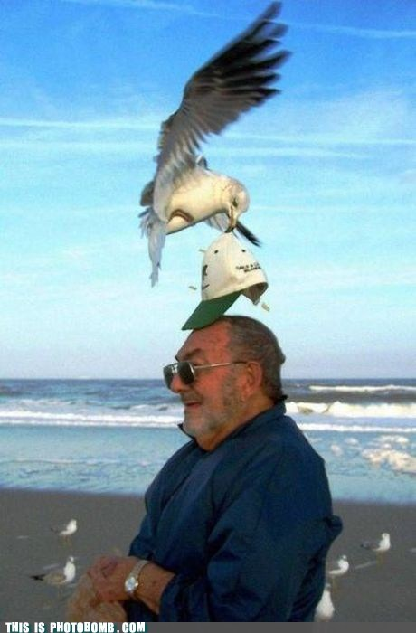 Animal Bomb,beach,dinner,hat,losing hat,seagull