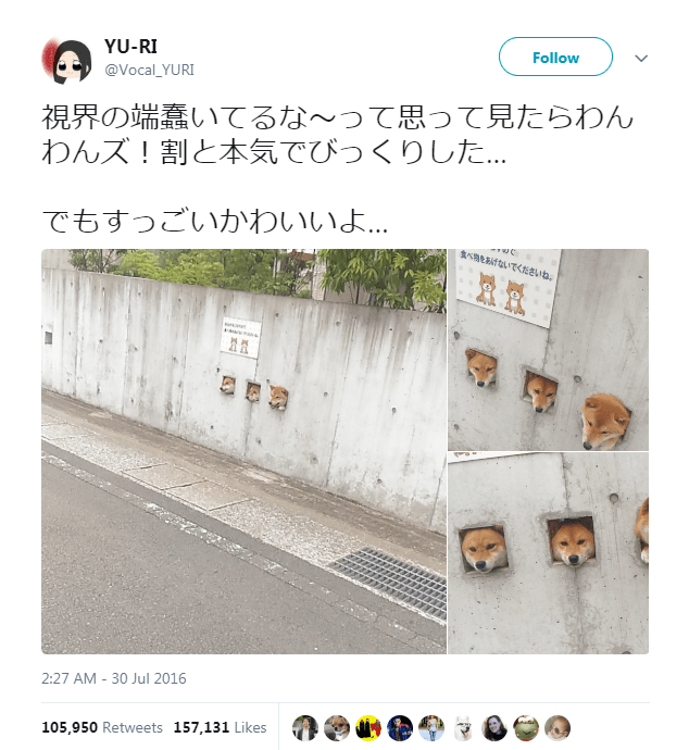 peeking adorable tourists Japan three shiba inu attraction wall - 5857029