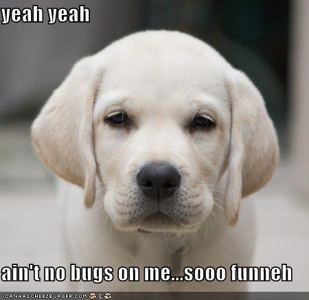 labrador puppy white - 586463488