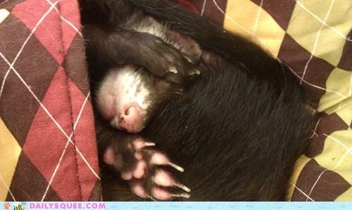 blanket ferret mustelid nap reader squees rudy sleepy - 5866134528