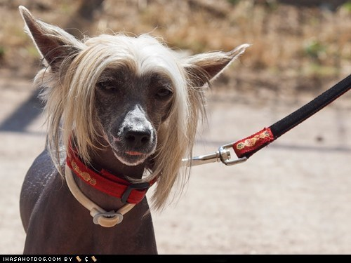 chinese crested goggie ob teh week leash skeptical tongue tongue out walk - 5867844608
