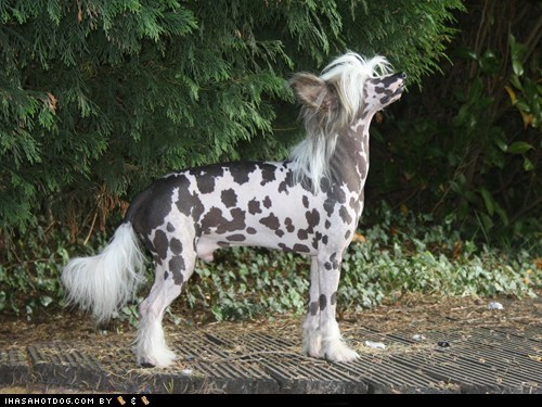 chinese crested goggie ob teh week good dog handsome pose posing standing tall - 5867850240