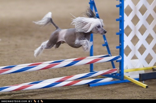 agility chinese crested goggie ob teh week jump jumping run running - 5867855360