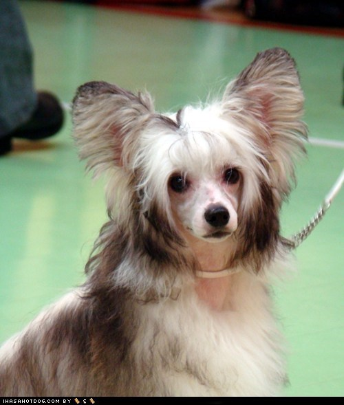 adorable chinese crested chinese crested powderpuff ears goggie ob teh week - 5867857920