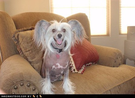 awesome chair chinese crested goggie ob teh week happy happy dog smile smiles smiling - 5867860992