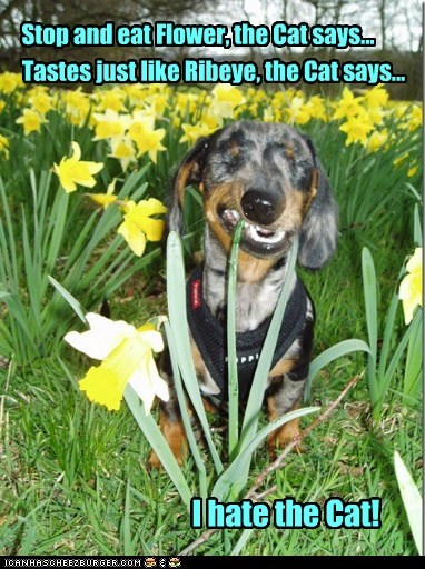 cat,chew,chewing,dachshund,daffodil,dont-listen-to-the-cat,eat,Flower