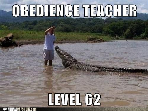 alligator crocodile obedience obedience school obedience teacher - 5869766656