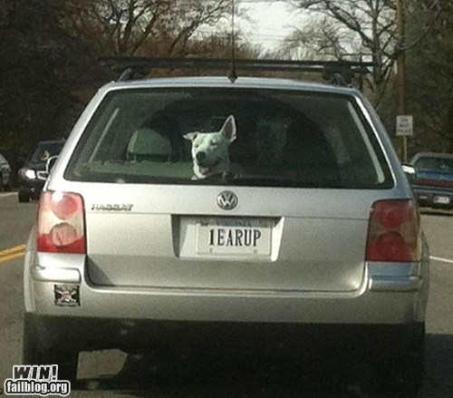 car,clever,dogs,ear,license plate,ride