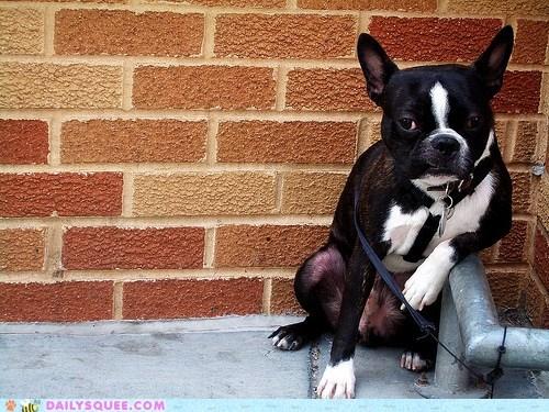 acting like animals boston terrier flirting pickup line posing swag - 5869931264