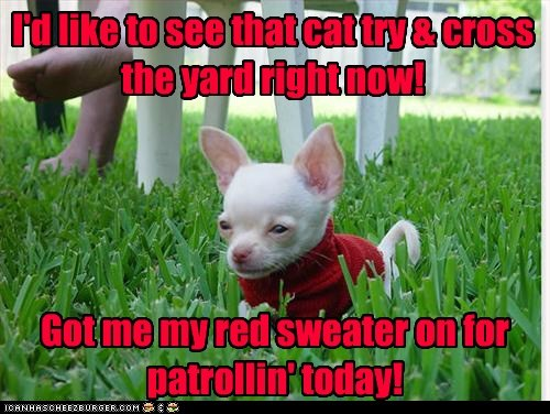 chihuahua,clothes,clothing,grass,outdoors,patrol,sweater,yard patrol,yard watch