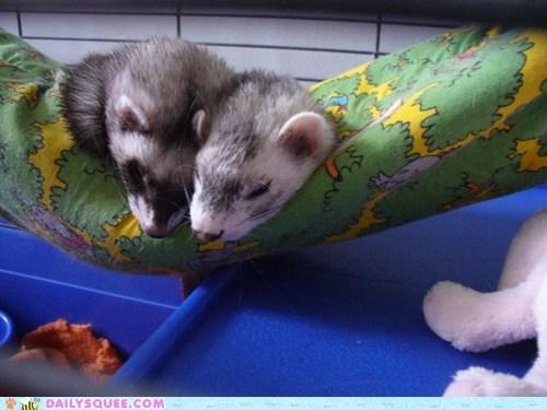 ferrets,hammock,pets,reader squees,sleeping