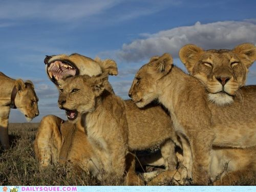 africa cubs lions nap pride sleep yawning - 5874665984