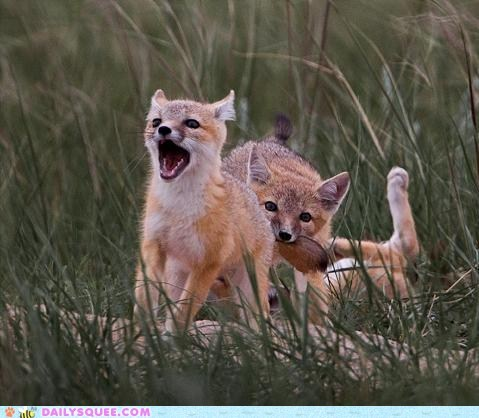 bite biting fox foxes kits mom ouch play siblings squee tails yell yelling - 5874675200
