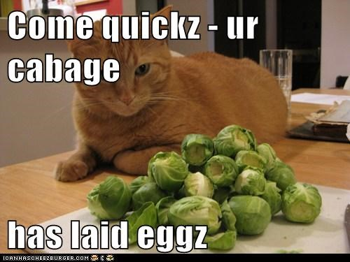 brussels sprouts,cabbage,caption,captioned,cat,confused,eggs,emergency,laid,vegetables