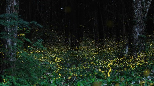 fireflies,Forest,Japan