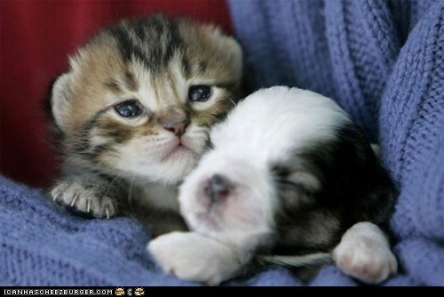 dogs goggies goggies r owr friends Interspecies Love itteh bitteh committeh kitten puppies tiny - 5878356480