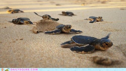 Babies beach crawl sand sea turtles squee turtles water