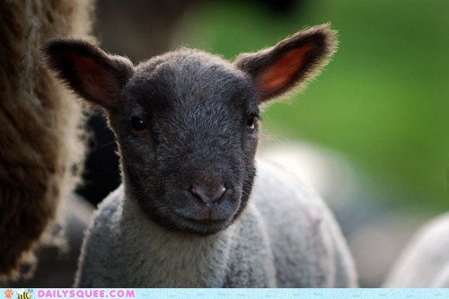 black derp face lamb smile - 5878993920