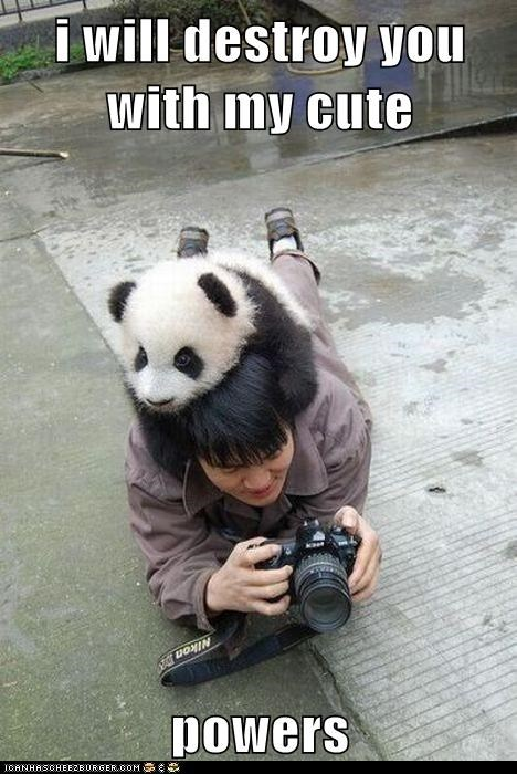caption,cute,cute powers,destroy,destroy you,destruction,on head,panda,panda bear,panda bears,photographers,powers