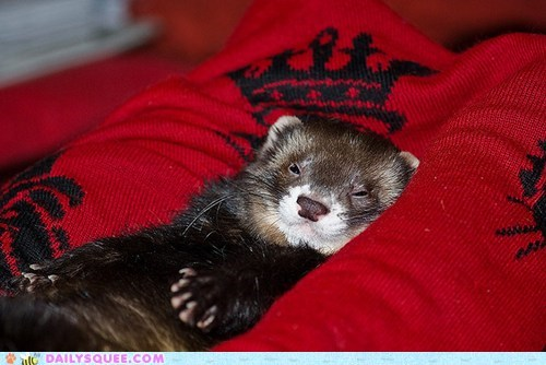 crown,ferret,reader squees,royal,sleepy