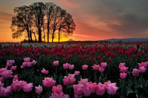 beautiful,getaways,sunset,tree,tulips,unknown location