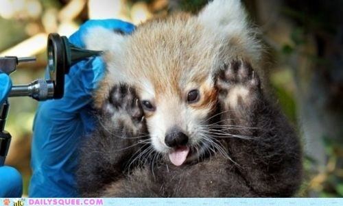 baby,check up,doctor,pup,red panda